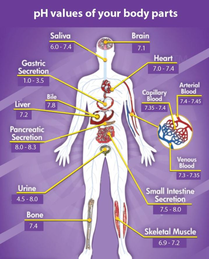 the-different-pH-values-of-your-body-parts-are-regulated-in-part-by-magnesium